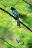 Drongo Bird Royalty Free Stock Photography