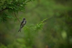 Drongo. On branch royalty free stock image