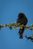 Drongo on branch Stock Images