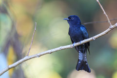 Drongo Cuckoo resting on a perch Stock Photography