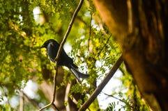Drongo fatturato corvo Fotografie Stock