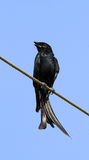 drongo Fourchette-suivi Photo stock