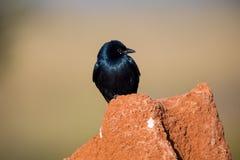 Drongo noir été perché sur un monticule de termite images stock