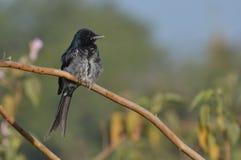 Drongo noir (macrocercus de Dicrurus) Subadult Images libres de droits