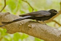 A drongo on a tree branch Royalty Free Stock Image