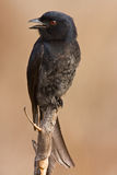 Drongo on pirtch. Looking to left singing Royalty Free Stock Images