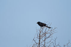 Drongo Royalty Free Stock Images
