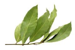 Droog aromatisch die laurierbladtakje op een witte achtergrond wordt geïsoleerd Foto van de oogst van de laurierbaai voor de zake stock foto