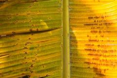 Droog blad van de banaan Stock Fotografie