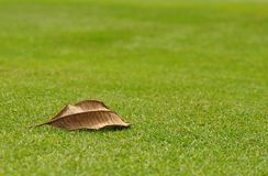 Droog blad van frangipaniboom Royalty-vrije Stock Fotografie