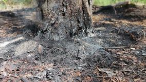 Droog bladeren en naaldenrook onder boom in de bosbedreiging van bosbrand stock footage