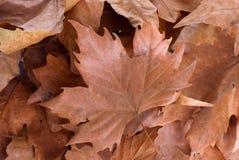 Droog bladeren op de geïsoleerde witte achtergrond Royalty-vrije Stock Afbeeldingen