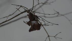 Droog bladeren op een boomtak in de winter stock videobeelden
