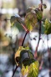 Droog bladeren recente frambozen in de sneeuw met ijskegels, Royalty-vrije Stock Afbeeldingen