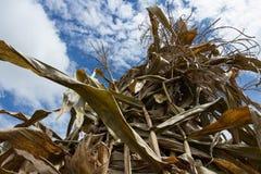 Droog bladeren van graan Stock Fotografie