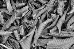 Droog bladeren in zwart-wit Stock Foto's