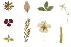 Droog bloemen en herbarium stock afbeeldingen