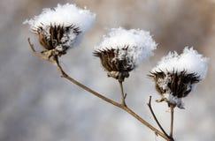 Droog bloemenhoogtepunt van sneeuwvlokken na sneeuwval Stock Fotografie