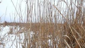 Droog de van het de winterriet van het grasmoeras mooie het landschapsaard Stock Foto's