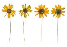 Droog en gedrukt de de lente wilde bloemen die op witte achtergrond worden geïsoleerd royalty-vrije stock fotografie