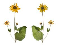 Droog en gedrukt de de lente wilde bloemen die op witte achtergrond worden geïsoleerd stock afbeeldingen