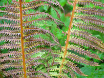 Droog Forest Ferns Stock Afbeelding