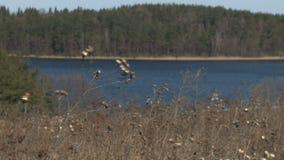Droog gebiedsgras voor de waterbezinning stock videobeelden
