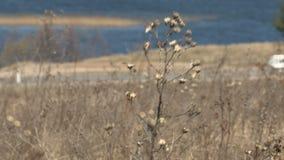 Droog gebiedsgras voor de waterbezinning stock footage
