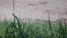 Droog gebroken grond van droogte met groene grasslingeringen in wind in voorgrond stock video