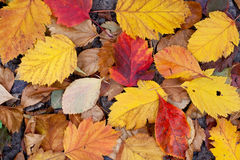Droog gevallen bladeren Stock Afbeelding