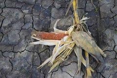 Droog graan op droge aarde in graanlandbouwbedrijf Stock Afbeeldingen