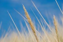 Droog gras Stock Foto