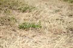 Droog gras royalty-vrije stock afbeelding