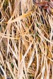 Droog gras Royalty-vrije Stock Afbeeldingen