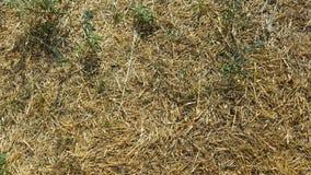 Droog gras Stock Fotografie