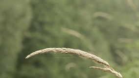 Droog gras bij de vijver stock footage