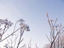 Droog gras dat met sneeuw wordt behandeld Royalty-vrije Stock Afbeelding