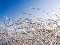 Droog gras dat met sneeuw wordt behandeld Royalty-vrije Stock Foto