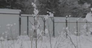 Droog gras in de sneeuw tegen de achtergrond van de omheining stock video