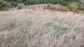 Droog gras in de wind stock footage