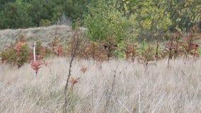 Droog gras in de wind stock video