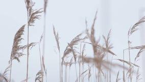 Droog gras die in de wind slingeren stock videobeelden
