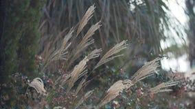 Droog gras met borstel bij eind het schudden in wind op de zomerdag stock footage
