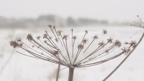 Droog gras met grote sneeuwkappen op de achtergrond van de winterbos op een sneeuwdag stock footage