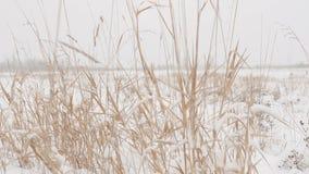Droog gras met grote sneeuwkappen op de achtergrond van de winterbos op een sneeuwdag stock video