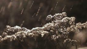 Droog gras onder sneeuw stock footage