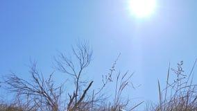 Droog gras op achtergrond van blauwe hemelbeweging stock video