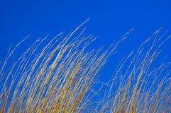 Droog Gras op Blauwe Hemel Stock Afbeeldingen