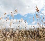 Droog gras op blauwe hemel Stock Fotografie