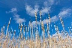 Droog gras op blauwe hemelachtergrond Royalty-vrije Stock Foto's